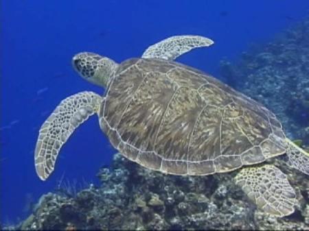 Tartarughe marine cetacei e uccelli marini come for Tartarughe grandi