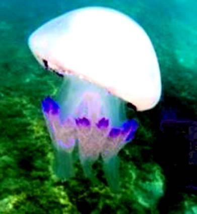 La medusa Rhopilema nomadica.